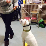 A thumbs-up can replace a clicker while training a deaf dog.