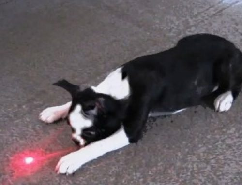 Using a Laser Light or Flashlight Can Cause Obsessive Compulsive Disorder in a Deaf Dog